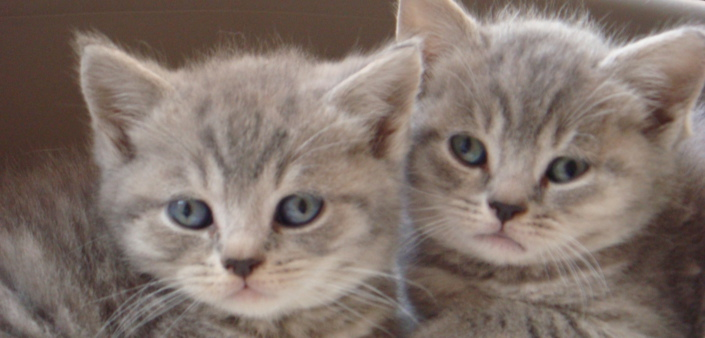 Fairyfeet Cats - About British Shorthair Cats